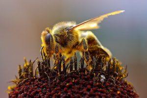 Proteger a las abejas para proteger la agricultura