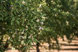 la importancia del suelo en el cultivo del almendro